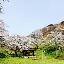 *【周辺】当館から車で5分の石倉山公園。春には桜がきれいに咲き誇ります。