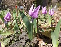 山野草「カタクリ」の花