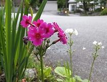 色あざやかな「クリンソウ」の花(6月中旬)