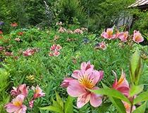 大女将の畑にたくさんの花が咲きました(7月6日撮影)