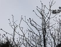 朴の木の芽がふくらみ始めました(4月中旬)