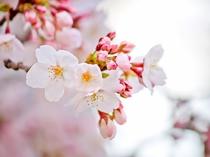 【周辺】春の訪れを感じる美しい桜 ※写真はイメージです