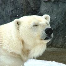 旭山動物園-眠いシロクマ
