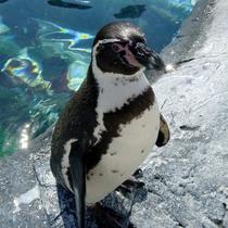 旭山動物園のフンボルトペンギン