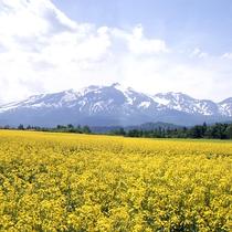 上川牧場 菜の花