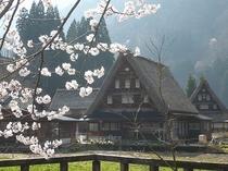世界遺産菅沼合掌造り集落と桜