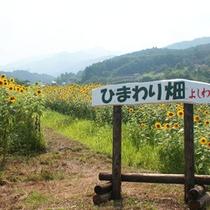 吉和中心部には、毎年3万本のひまわりを栽培しています。畑一面に咲いたひまわりに元気をもらえます♪