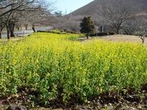 桜の里の菜の花