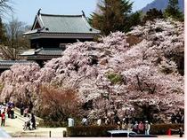 千本桜開花