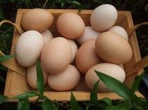 宿で飼っている「奥美濃古地鶏のたまご」です。コクがあって美味しいです。卵かけご飯もオススメ♪