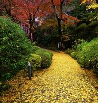 黄葉の絨毯