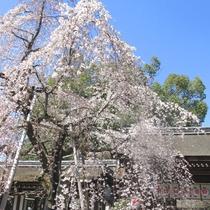 桜の名所として有名な平野神社。シーズンには夜桜も楽しめます