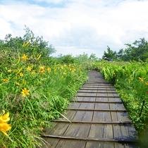 湿原に咲くニッコウキスゲ
