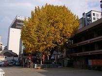 櫛田神社銀杏の木の黄葉