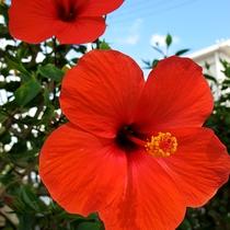 *石垣島の大自然/島内に咲き乱れる南国の花。鮮やかな赤に元気をもらえる島。