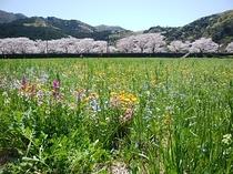 松崎町の春