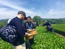 茶摘み体験ツアー 茶畑と富士山2