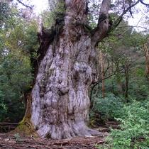 【縄文杉】樹齢7200年とも言われる大木。神秘的な生命力に感動をもらえます。