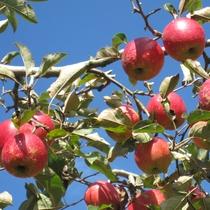 *家族でも友人でもみんなで楽しめるりんご狩り!美味しいもぎたてりんごをお楽しみください。