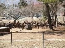 馬術競技場に降りてきた鹿の大群