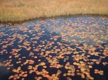 池塘に浮かぶヒツジグサの葉