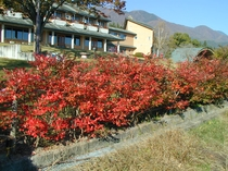 ブルーベリーの紅葉