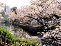 道後公園の桜