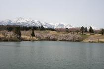 松が峰ゴルフ場の桜
