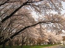 霞城公園の桜並木