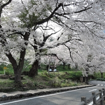 *湯野上温泉駅/駅周辺、春は桜が美しいことでも有名。