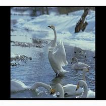鳴子温泉弁天渕の白鳥