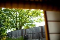 久保市乙剣神 ケヤキ
