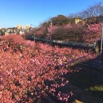 三浦海岸駅から三崎口へ向かう沿線の河津桜