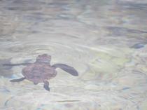 ウミガメの赤ちゃん