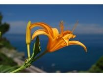 浜かんぞうの花