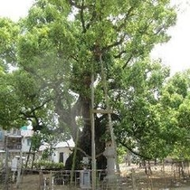 ★善通寺大楠の木