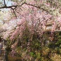 桜の名所♪哲学の道