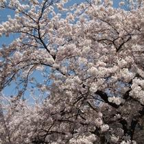 京都は町中が桜の名所!