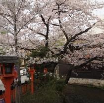京都の春はほんまにおすすめ☆<祇園>