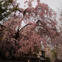 京都はしだれ桜も多いです♪