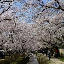 桜の名所☆哲学の道