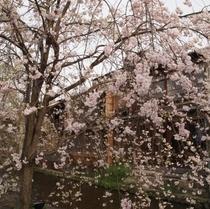 桜のシャワーみたい!<祇園>