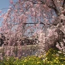 桜の向こうに鴨川♪