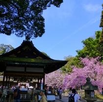 平野神社と桜