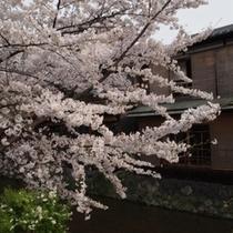 祇園の楯もと桜がよく合います