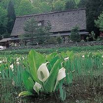 岩瀬家と水芭蕉