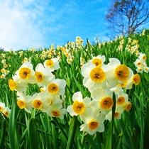 第四十二番 「花の札所」 灘黒岩水仙郷