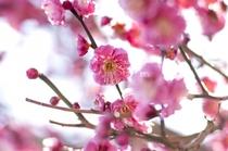 2月下旬には可愛らしい梅の花をお楽しみいただけます