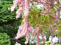 アセビ(ピンク) 春〜