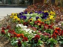エントランスの花壇1 春の花